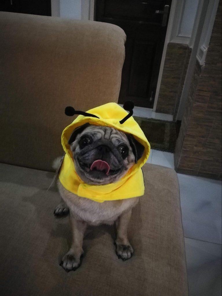 Dazzle the Pug